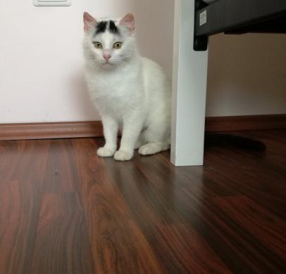 Dovanojama  meili katytė Cibera-5