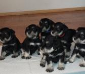 Cvergšnaucerio (juoda su įsidabriu) veislės šuniukai -0