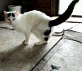 Dovanojama  meili katytė Cibera-0