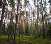 Perka mišką. Miško kaina.-0