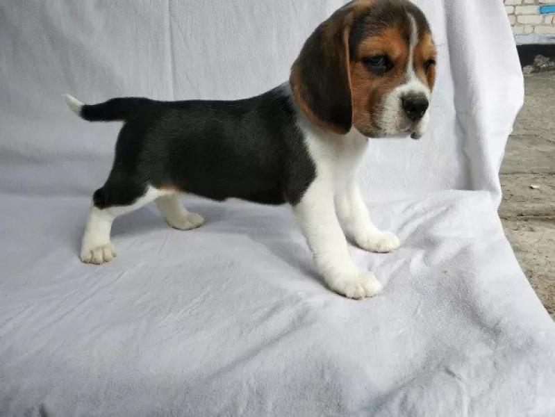 KC/FCI Beagle šuniukai-0