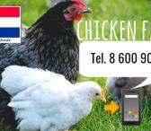 Darbas naminių paukščių ūkiuose Olandijoje-0