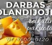 Darbas sūrio fabrike Olandijoje-0