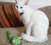 Dovanojama baltutėlė katytė Gulbė-0