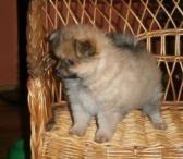 Pomeranijos šuniukai naujiems namams-0