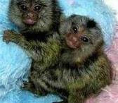 """7 mėnesių """"Marmoset"""" beždžionės naujiems namams-0"""