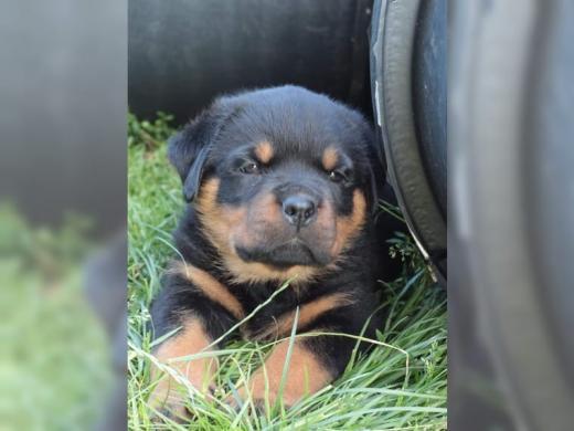 12 savaičių Rotveilerio šuniukai, skirti įvaikinti-0