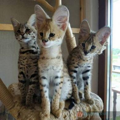 savannah kačiukas-0