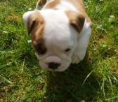 Parduodami anglų buldogų šunys ir šuniukai-0
