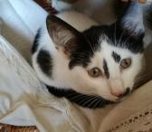 Dovanojamas, gegužę gimęs, katinėlis Spotis-0