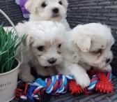 Sveiki Maltos šuniukų patinai ir moterys-0