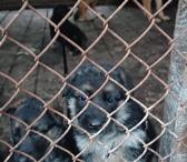 Parduodame, rezervuojame grynaveislius vokiečių aviganių šuniukus.-0