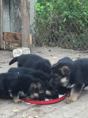 Parduodame, rezervuojame grynaveislius vokiečių aviganių šuniukus.-3