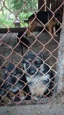 Parduodame, rezervuojame grynaveislius vokiečių aviganių šuniukus.-4