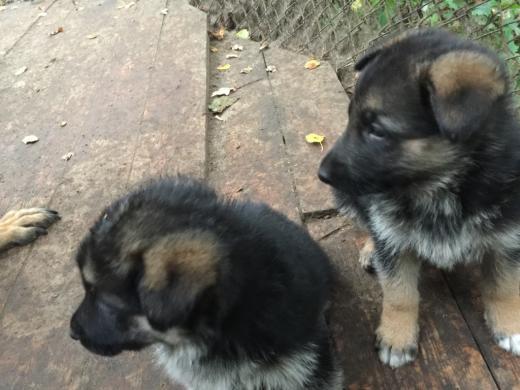 Parduodame, rezervuojame grynaveislius vokiečių aviganių šuniukus.-7