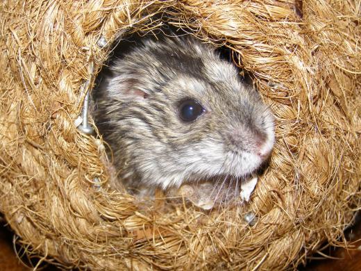 Džiungarijos žiurkėniukai-1