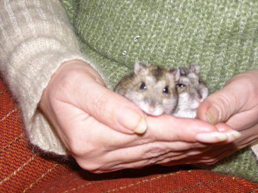 Džiungarijos žiurkėniukai-2