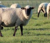 Brangiai perka avis, avinus, ėriukus-0