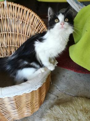Dovanojama pūkuotukė, katytė Žizel-4