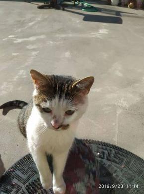 Dovanojamas draugiškas, meilus katinėlis Širdukas-3