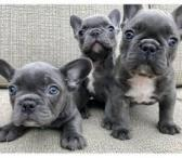 prancūzų buldogų šuniukai.-0