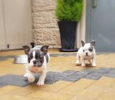 Prancūzų buldogų šuniukai-0