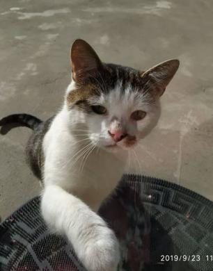 Dovanojamas draugiškas, meilus katinėlis Širdukas-2