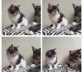 Meino meškėnų veislės kačiukas-0
