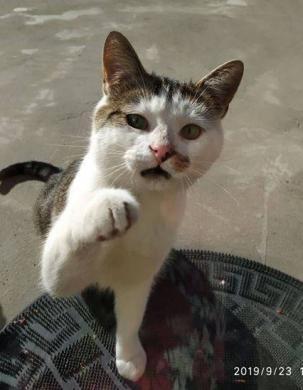 Dovanojamas draugiškas, meilus katinėlis Širdukas-1