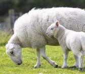 Ieškome etiško avių ūkio ar augintojų Klaipėdos ar Tauragės apskrityse.-0