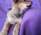 Dovanojama rugsėjį gimusi šunytė Jesė-0