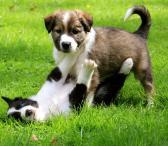 Borderkollio šuniukai-0