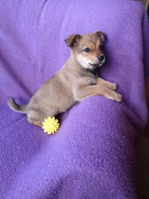 Dovanojama rugsėjį gimusi šunytė Jesė-7