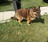 Dovanojamas  šuo Plutas-0