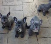 """gražus """"FrenchBulldog"""" paruoštas jų naujiems namams-0"""