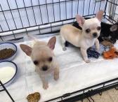 Parduodami Čihuahua šunys ir šuniukai-0