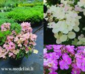 Hortenzijos, daugiametės gėlės, dekoratyviai augalai tiesiai iš augintojo-0