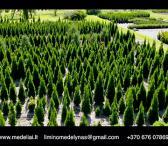Tujų sodinukai gyvatvorei, Smaragd, Brabant-0