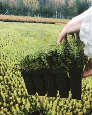 Eglučių sodinukai-0