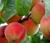 Persikas, Koloninis persikas-0