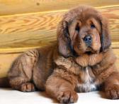 Tibeto mastifų šuniukai-0