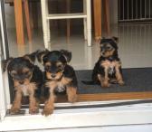 Jorkšyro terjerų šuniukai-0