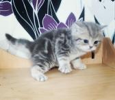 Britų trumpaplaukių kačiukai-0