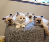 Ragdoll kačiukai-0