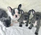 Male and female French bulldog puppies-0