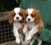 cavalier king Charles puppies.-0
