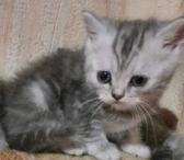 Parduodu persų egzoto katės kačiukus-0