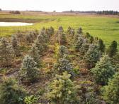 Eglučių, pušelių ir maumedžių sodinukai bei eglutės-0