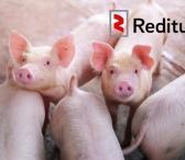 Kiaulių fermos darbuotojas (1046)-0