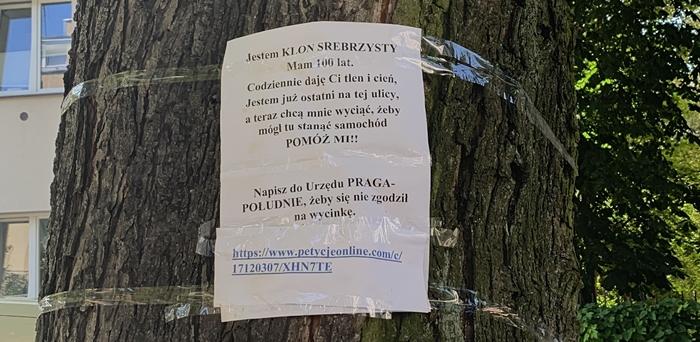 Saska Kępa. Petycja ws. stuletniego klonu. Właściciel chce wycinki [POSŁUCHAJ] - Warszawa i Mazowsze - najnowsze wiadomości w RDC
